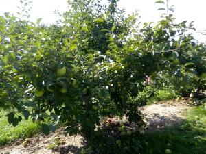 Pommes-09